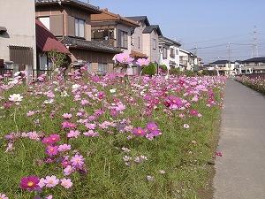 cosmos_washimiya.jpg