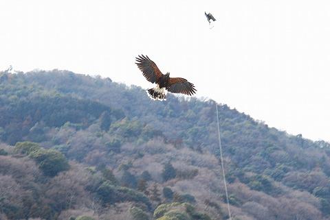 鷹狩り@嵐山'11.2.19