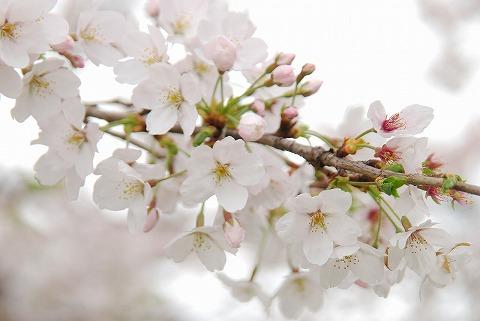 桜@飛鳥山公園'11.4.9