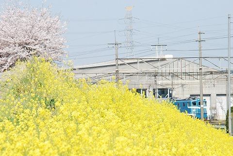 菜の花&桜@ひろせ野鳥の森'11.4.16