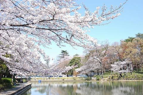 桜@大宮公園'12.4.8
