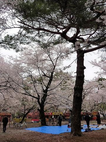 桜@大宮公園'13.3.30