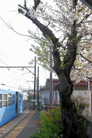 桜@内部'13.4.5