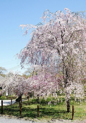 しだれ桜@清雲寺'13.4.13