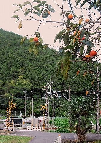 柿@武蔵横手'13.10.6