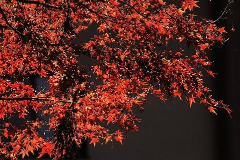 紅葉@箭弓稲荷神社'13.11.14