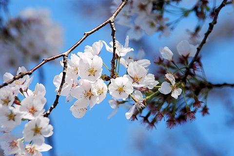 桜@藤の牛島'14.4.5