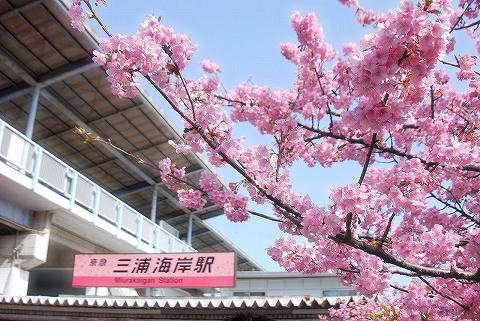 河津桜@三浦海岸'15.2.28