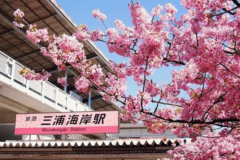 河津桜@三浦海岸'16.2.26