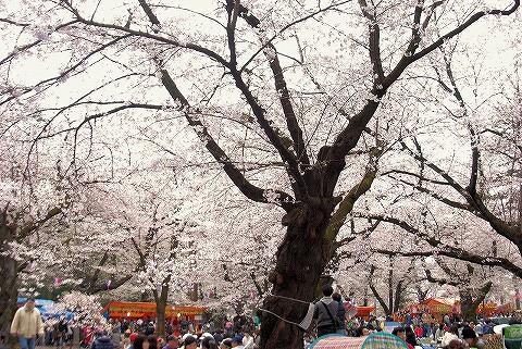 桜@大宮公園'16.4.3