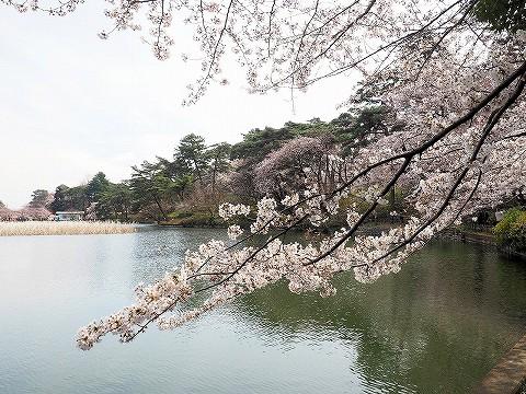 桜@大宮公園'17.4.2