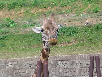 Giraffe_chiba_1