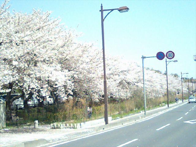 市民の森の桜並木