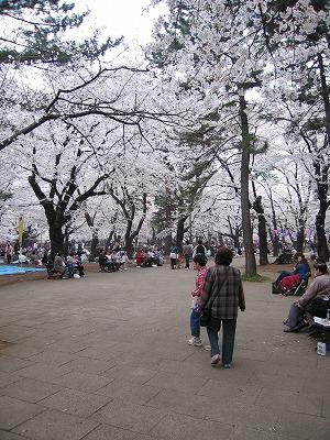 Sakura_omiyakouen2006