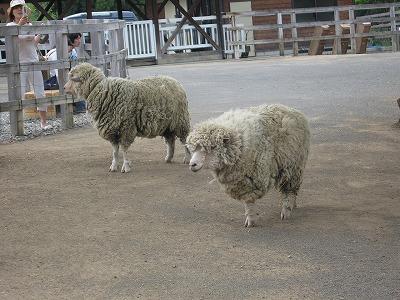 Sheep_hitujiyamapark