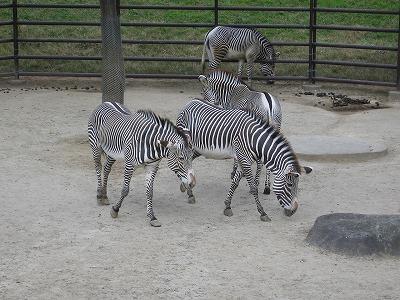 Zebra_chiba