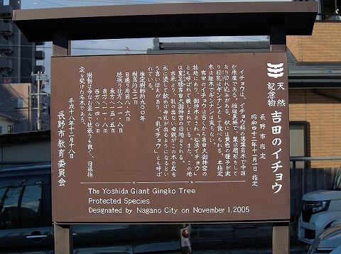吉田のイチョウ説明板'19.11.23